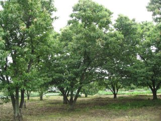 Chestnut tree1.jpg