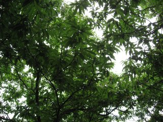 Chestnut tree2.jpg